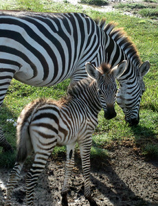 Mother and baby zebra, Ngorongoro crater, Tanzania
