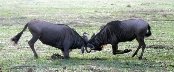 Wildebeest fighting in Ngorongoro crater, Tanzania