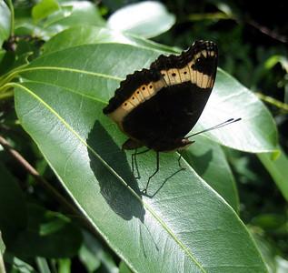 Butterfly, Zimbabwe