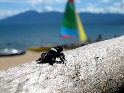 Beach bug, Kande beach, Malawi