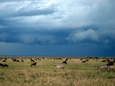 Wildebeest and zebra migration, Serengeti National Park, Tanzania