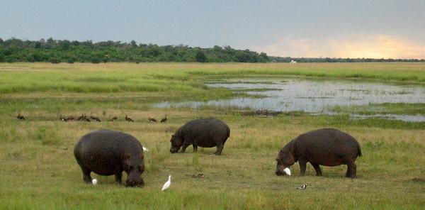 Hippos, Chobe National Park, Botswana