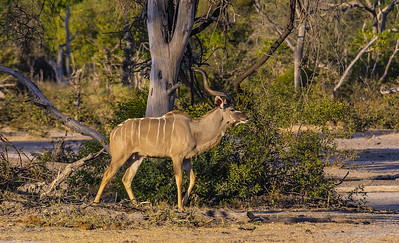 Male Kudu in Top Form