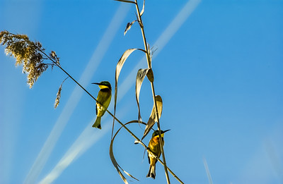 Little Bee Eaters