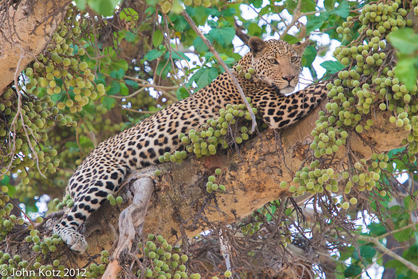 This leopard had captured his or her dinner, an impala, but it was stolen by two lions who were in the process of eating it just a few feet from the fig tree where the leopard found refuge.
