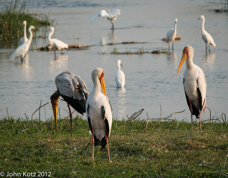 Yellowbill storks and egrets.