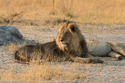 Two male lions.