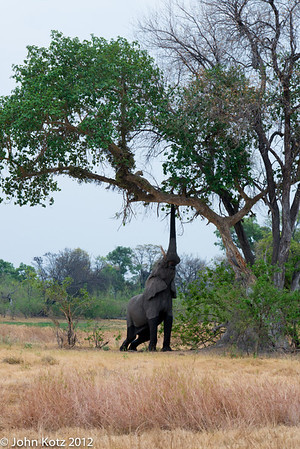 An elephant came by to have a few figs from the tree in which the leopard was resting.