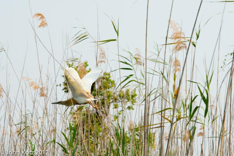 Squacco heron, Okavango Delta, Botswana.