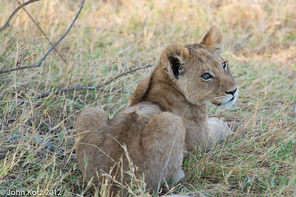 Lion cub, about 6 months old.