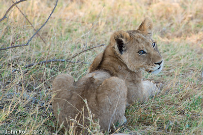 Lion cub, about 6 months old.