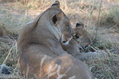 For some time we watched a female and her two cubs. There were two other females in the pride.