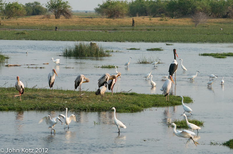The largest bird is a saddlebill stork, and the next largest are yellowbill storks. There re numerous egrets. The one in the foreground at left has speared a fish.