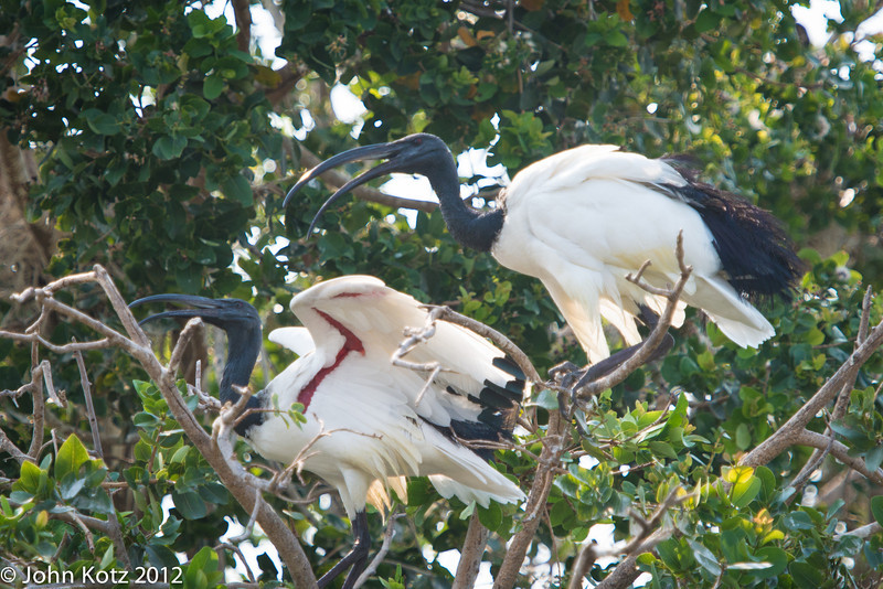 A pair of sacred ibis.