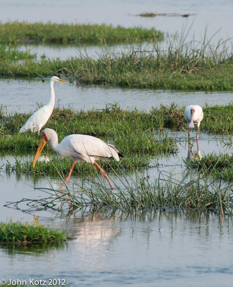 (from left) Egret, yellowbill stork, spoonbill.