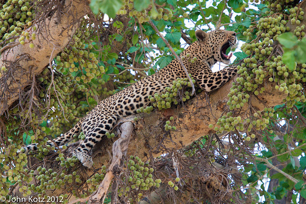 Our leopard was a bit sleepy, in spite of losing his dinner to two lions.