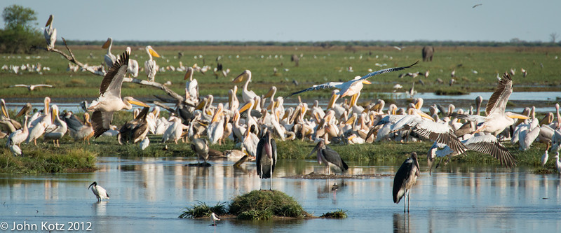 A plethora of pelicans (plus a few yellowbill storks and even a sacred ibis at the left in the foreground).