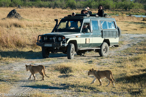 Part of our group watching the young lion cubs. They were being led my their mother to a sheltered spot in the shade.