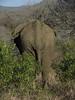 Phinda elephant rump