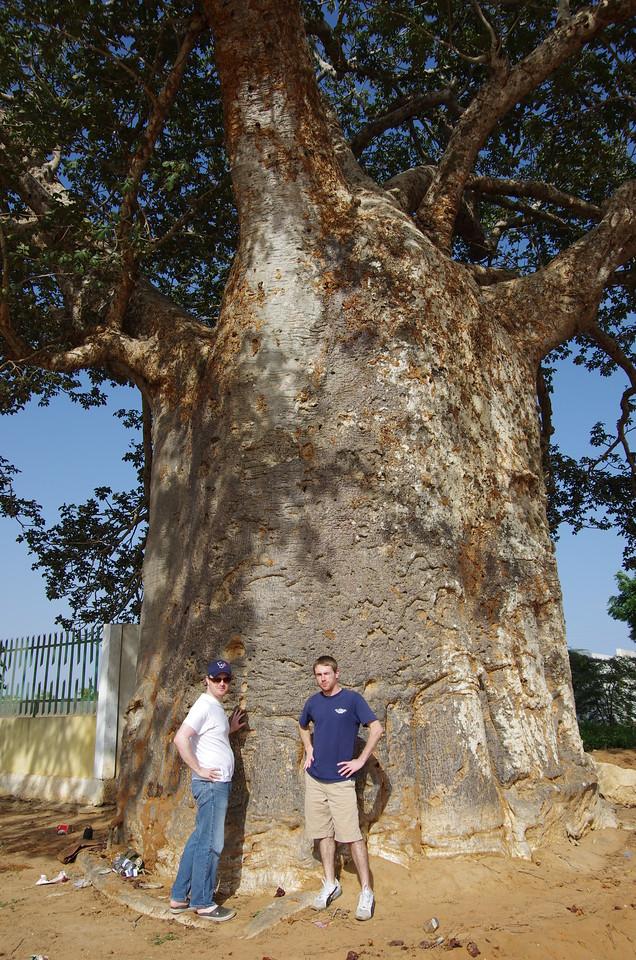 Imbondeiro (Baobab) tree