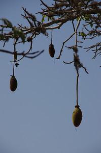 Imbondeiro (Baobab) seed pods