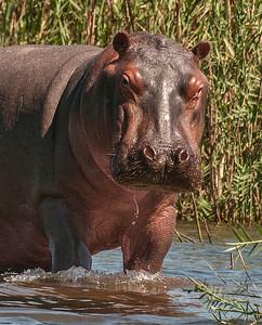 Hippos-14