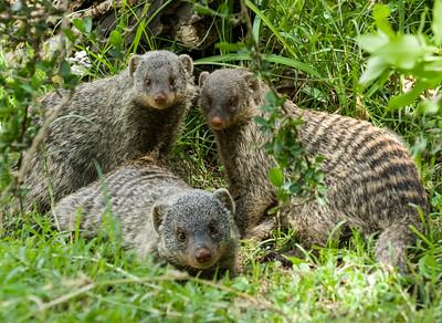 Mongoose-1