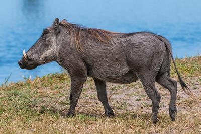 Warthogs-13