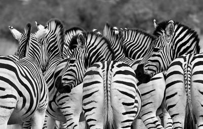 Zebra-31