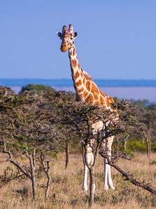 Giraffes-13