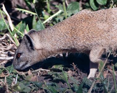 Weasel-2
