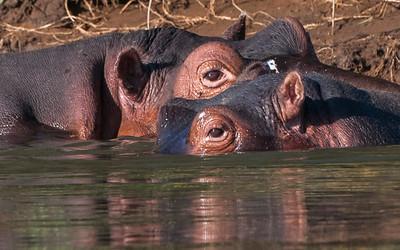 Hippos-17