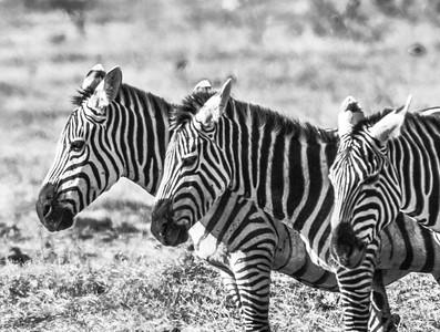 Zebra-11