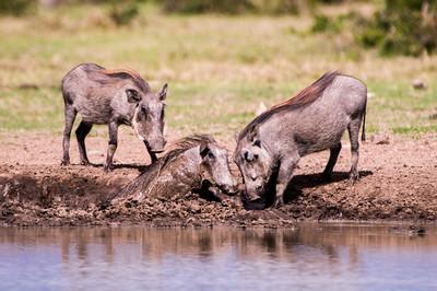 Warthogs-4