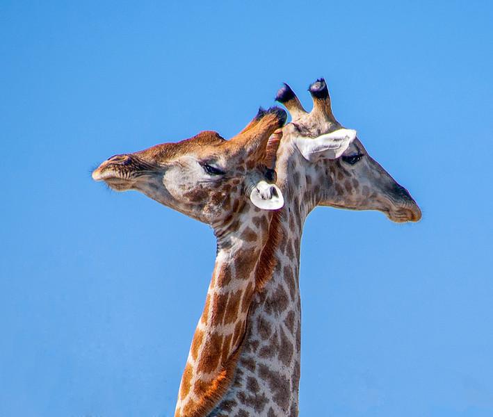 Giraffes-12