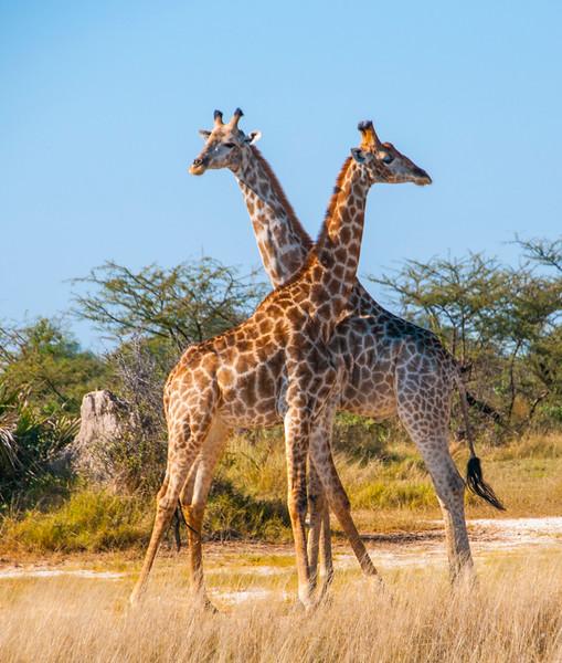 Giraffes-8