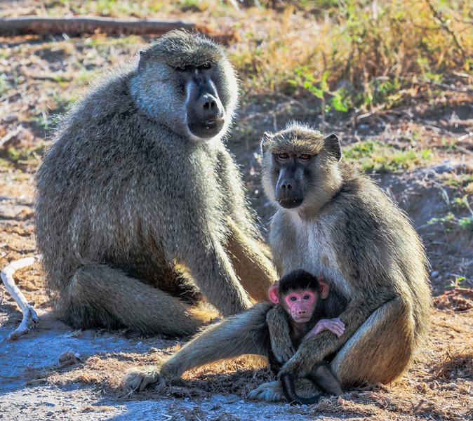 Baboons-4