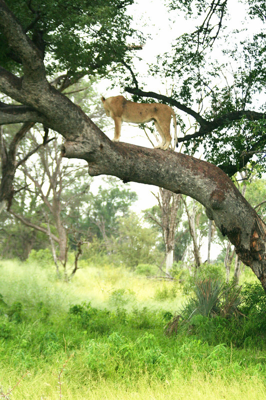 Lioness in Tree (and Out of the Wet Grass!)