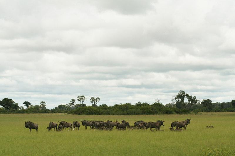 Wildebeests at Tubu Tree