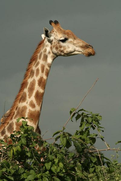 Giraffe Before the Rain