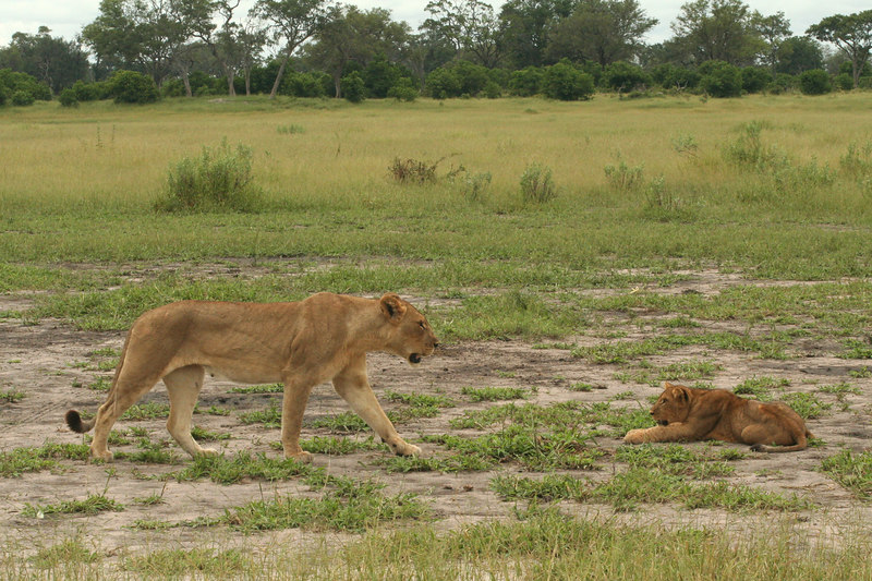 Cub with Lioness