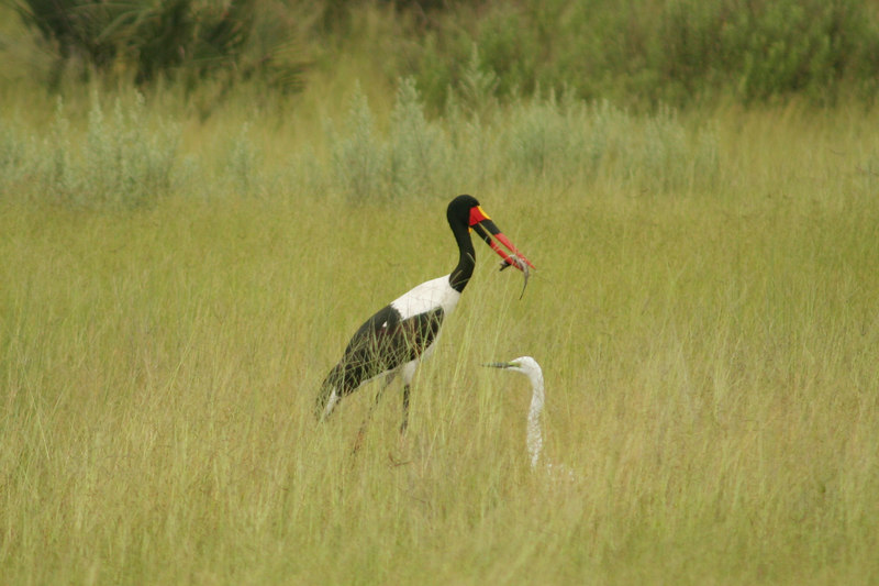Saddle-Billed Stork with Catch