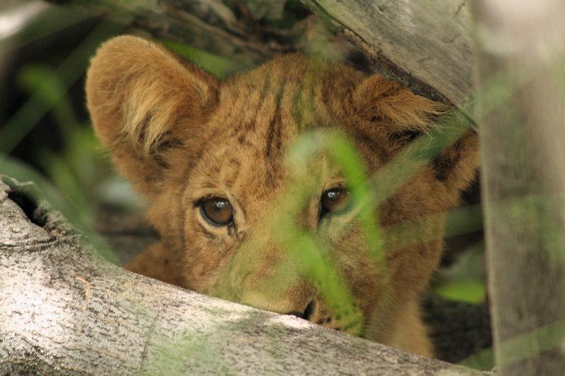 Lion Cub Peering Through the Bushes