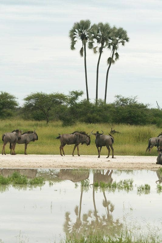 Wildebeests and Palms