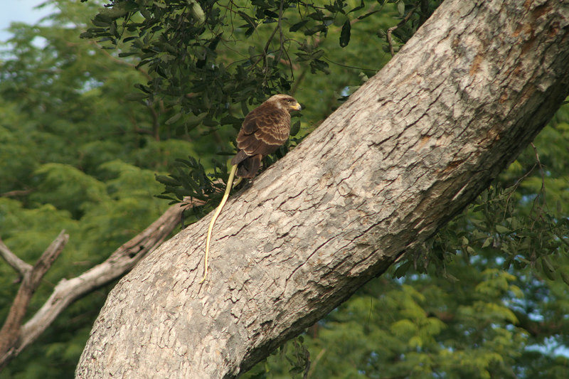 Yellow-Billed Kite with Snake