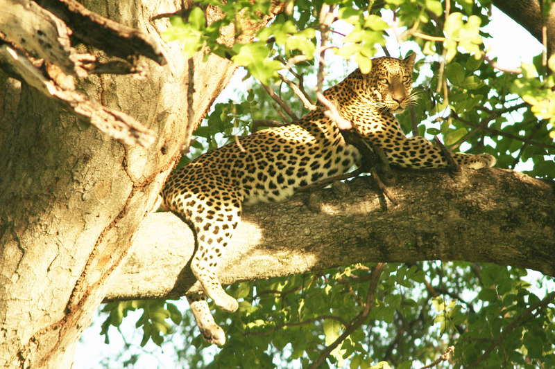 Male Leopard in Tree