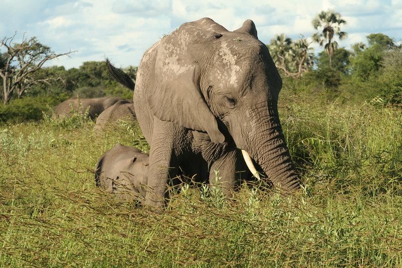 Female Elephant with Calf