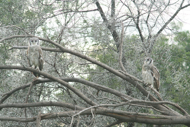 Giant Eagle Owls in Duet
