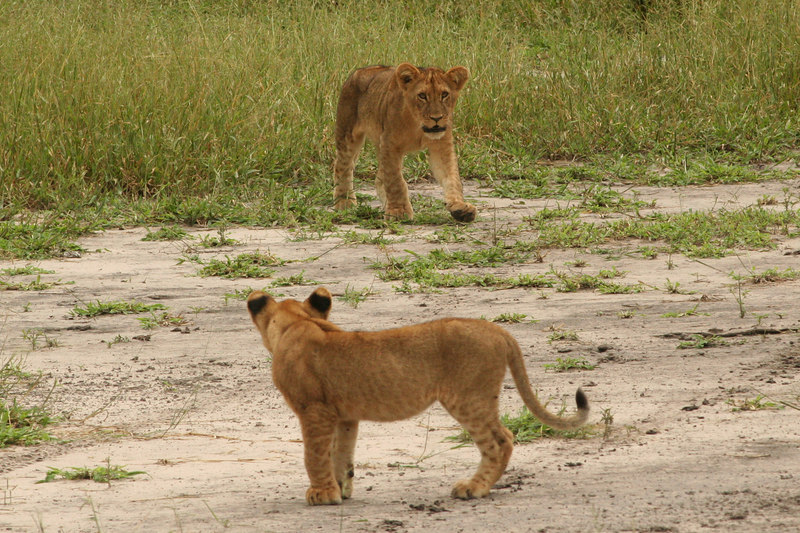 Cubs Out for a Stroll