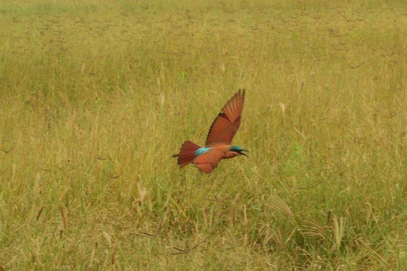 Carmine Bee-Eater Flying Along-Side Vehicle, Catching Insects